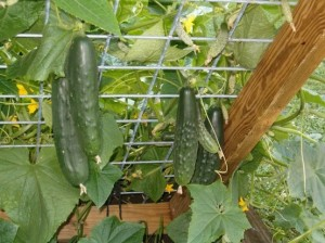 Grew my cucumbers on a trellis last year, and it was so successful I can't to do it again this year.